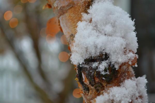 snow on birch tree