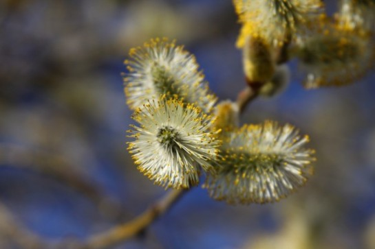 pussywillow2