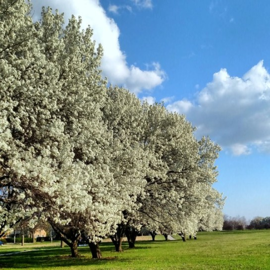 more pear trees