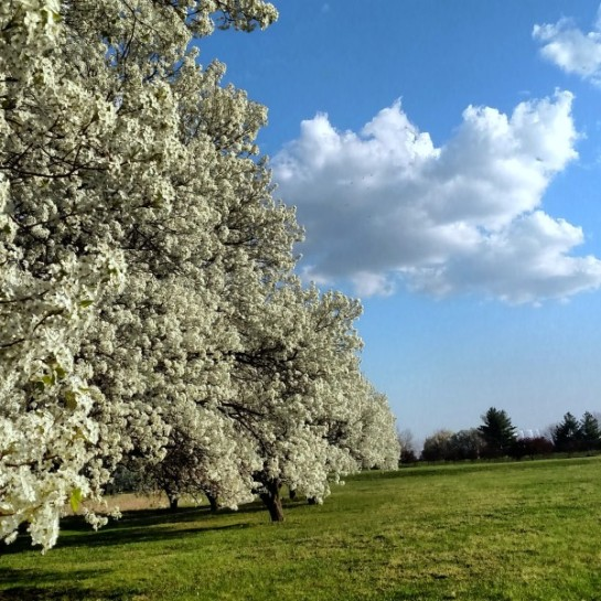 pear trees 4