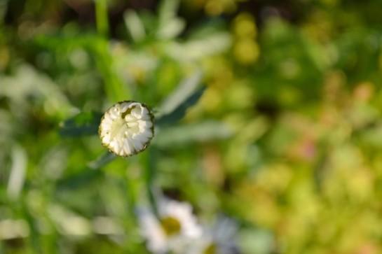 daisy bud2