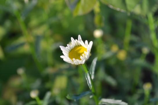 daisy bud3