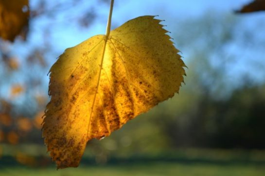 half-yellow-leaf