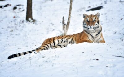 A Tiger At The Bronx Zoo Has Tested Positive For The Coronavirus