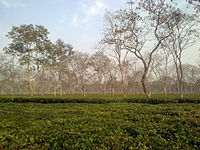 Tea_plantation_in_Sonitpur_district_of_Assam,_India