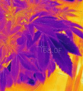 Cannabis Leaf Surface Temperature