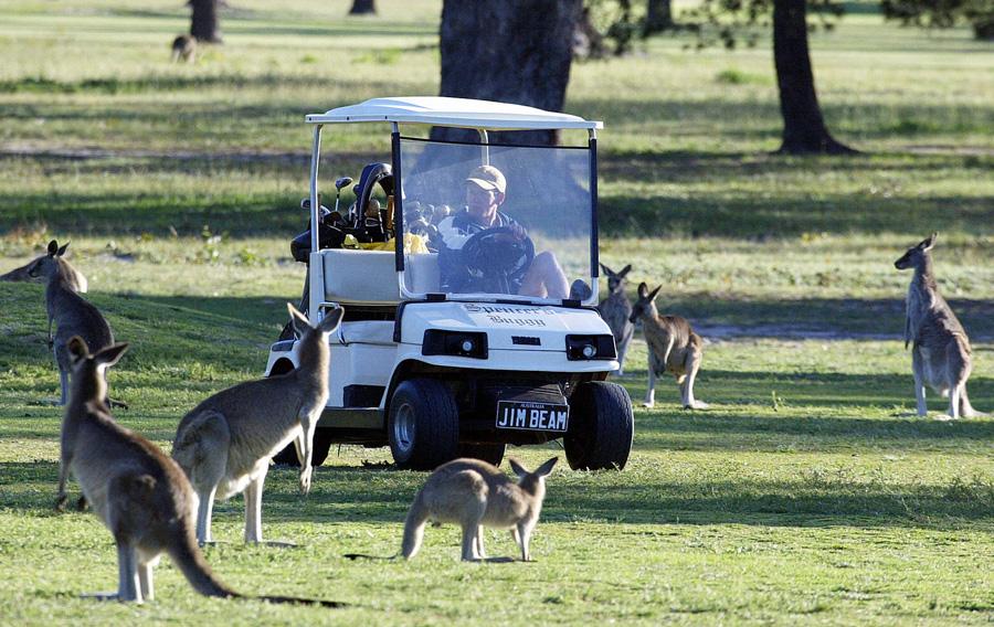 Golf Cart & Kangaroos - Photo: Christophe Simon/AFP/Getty Images