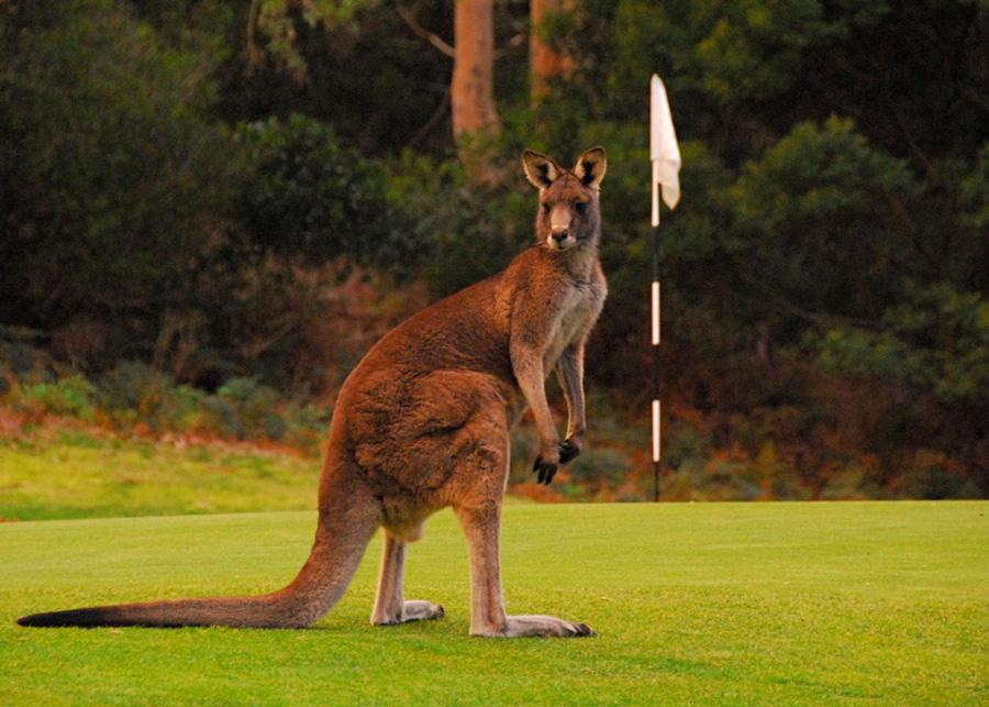 Kangaroo at 4th Green - Photo: Tom Walter/flickr