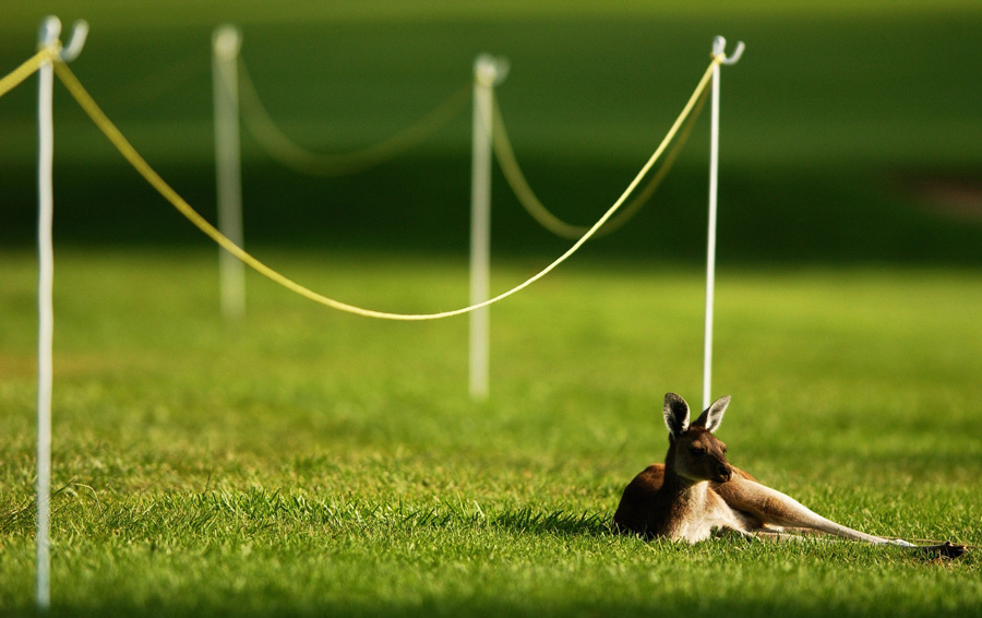 Kangaroo resting at the Johnnie Walker 2003 - Photo: Chris McGrath/Getty Images
