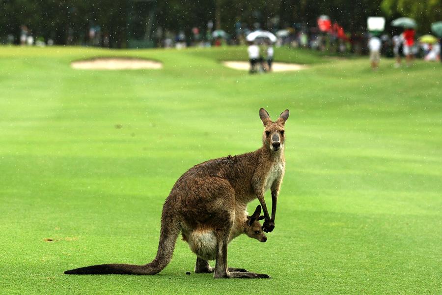 Kangaroo with Joey PGA 2010 - Photo: Bradley Kanaris/Getty Images