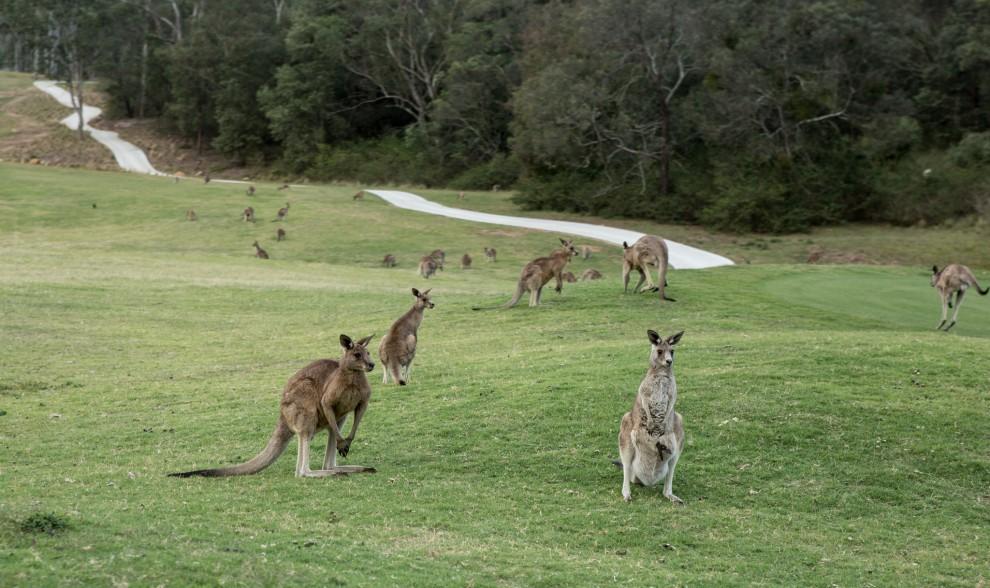 Kangaroos at Anglesea - Photo: Nina Matthews Photography/Flickr