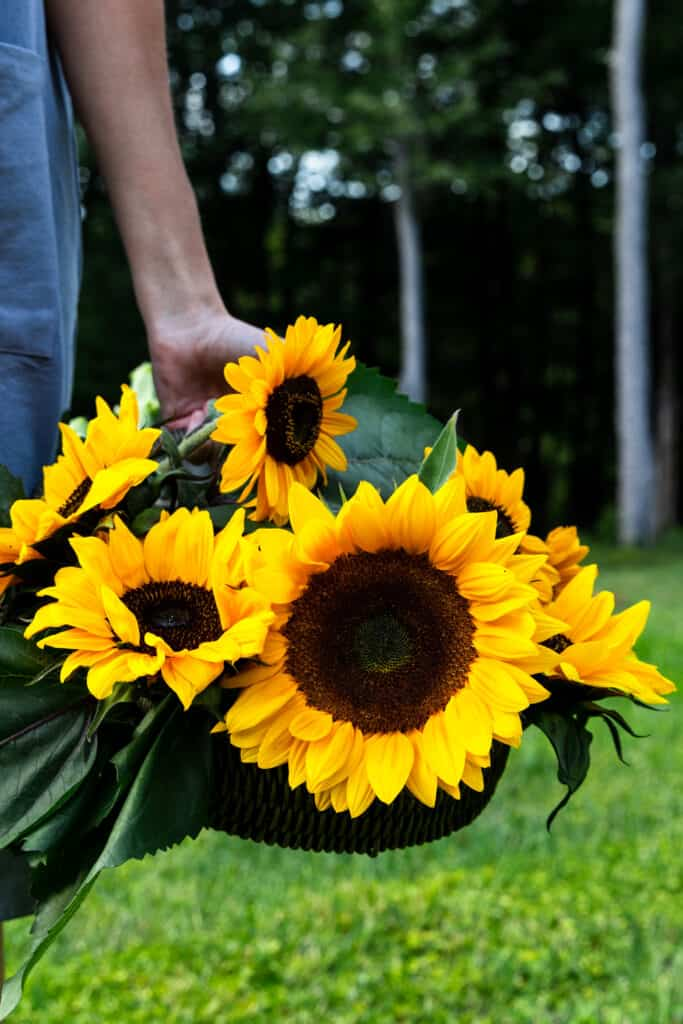 A basket of sunflowers