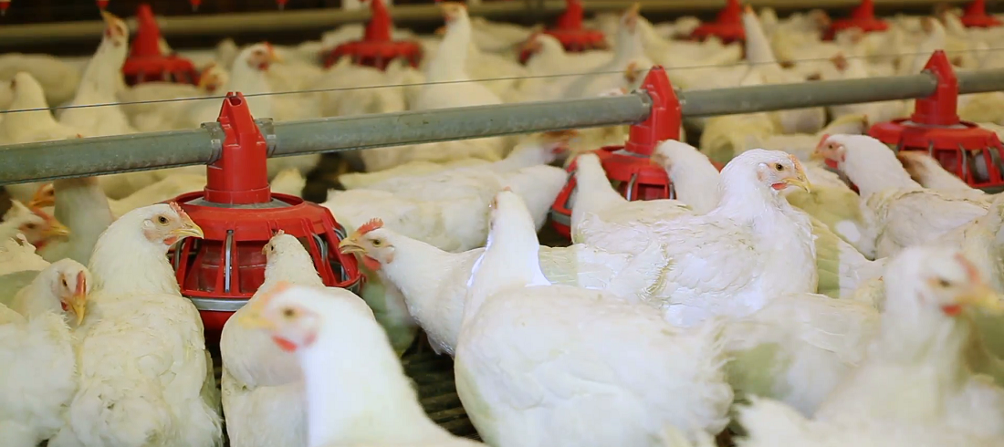 chicken exports to China