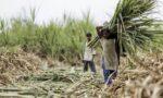 India sugar export subsidies