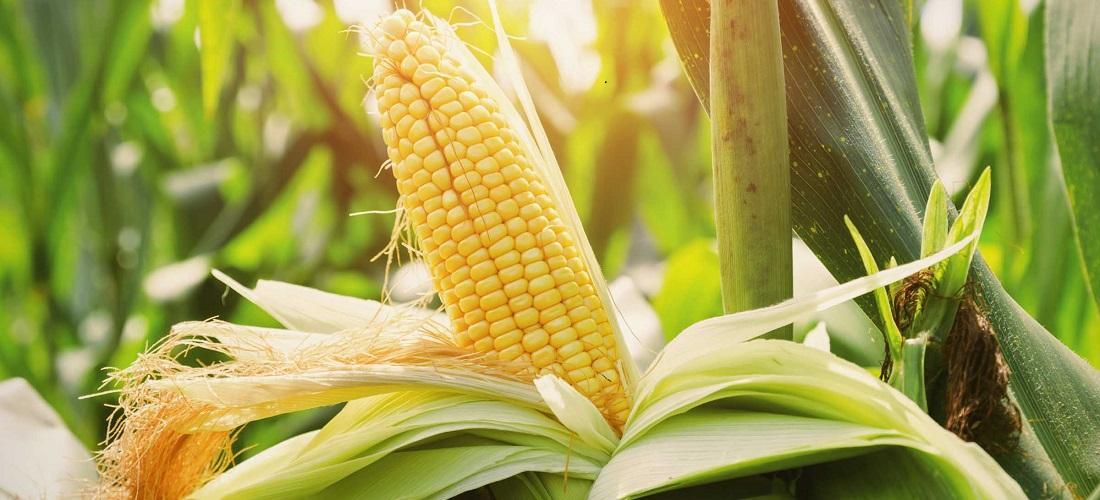 exportações americana de milho - american corn exports