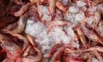 Red shrimp Argentina
