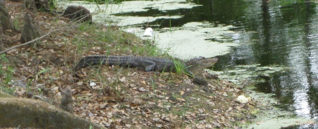 small gator MK