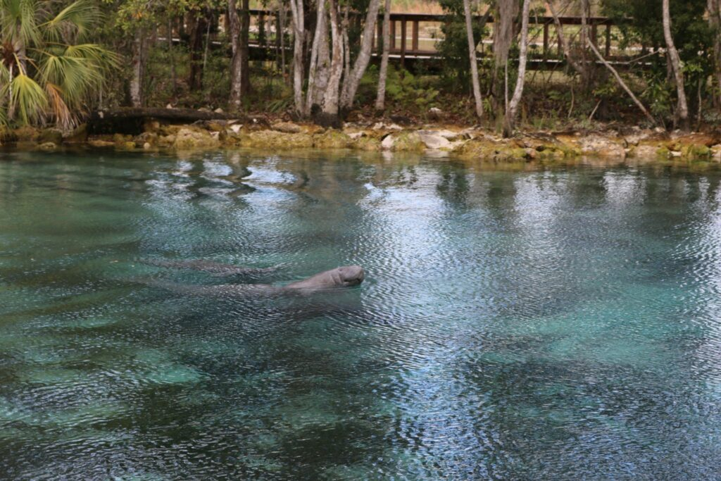 A cow and her calf escaping the cold by swimming in the spring at Three Sisters Springs