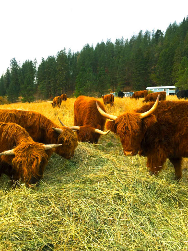 Highland Grass Fed beef at the taysita ranch in washington state