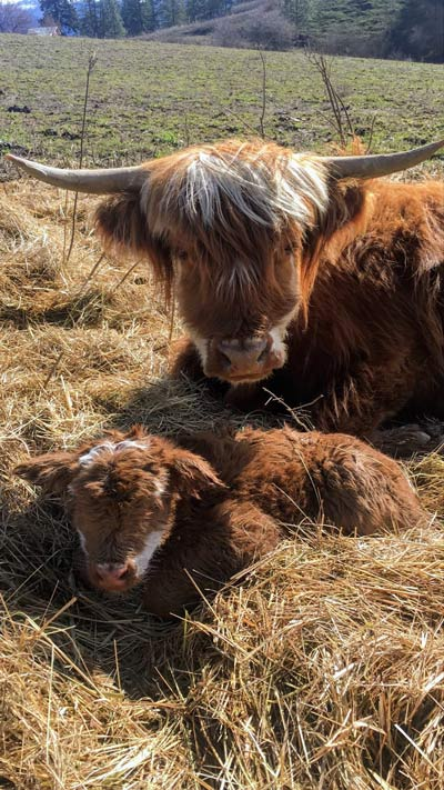 Mother and Baby highland cattle cuddling in the hay