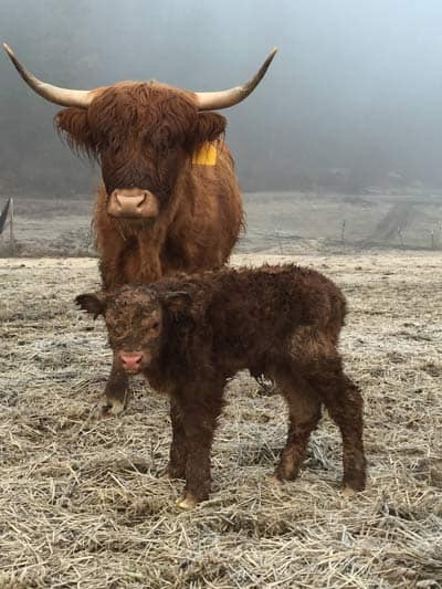 Baby and Mother Highland cattle staying close together during a cold day at Taysita Ranch