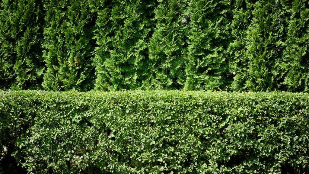 Consider Hedges Over Fencing