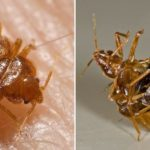 Natural and Non-Toxic Ways to Get Rid of Bedbugs