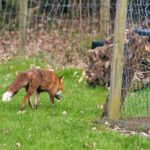 Tips For Keeping Foxes Out Of Your Garden