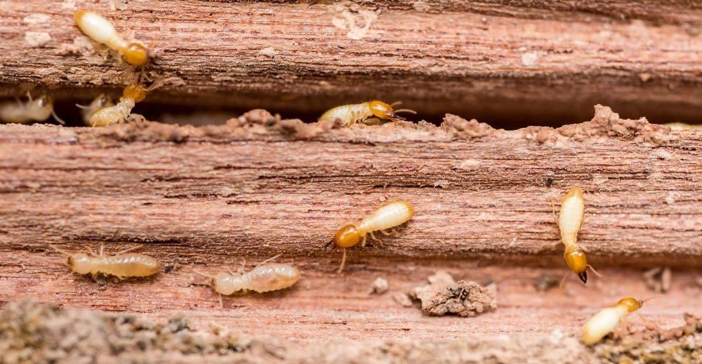 Termites In Spring