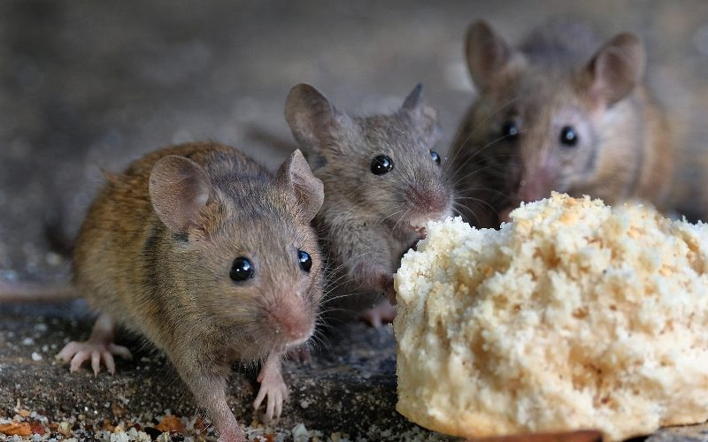 Why should we get rid of mice