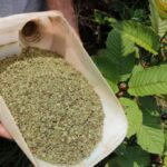 White Horn Kratom: A Sporadic Strain for Rejuvenating Lives