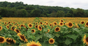 nj mom best sunflower farms fields mazes New Jersey