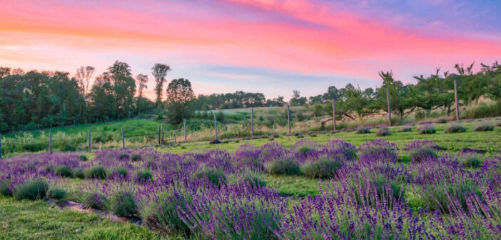 NJ mom 5 best relaxing lavender farms in new jersey