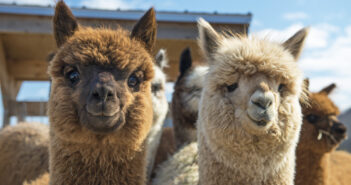 nj mom best alpaca farms in New Jersey
