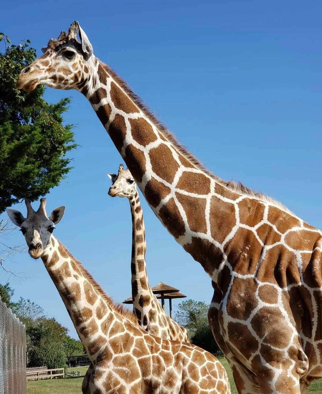 nj mom cape may county zoo new jersey giraffes