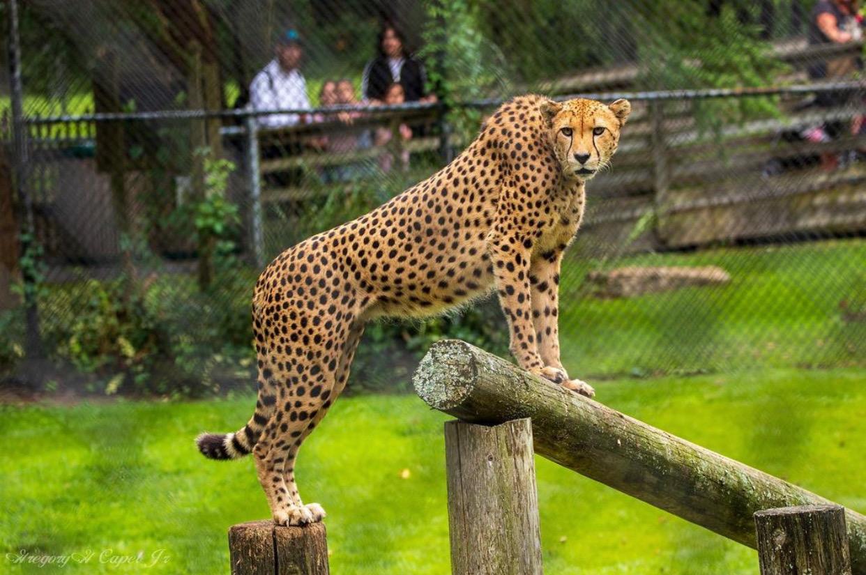 nj mom cape may county zoo new jersey leopard