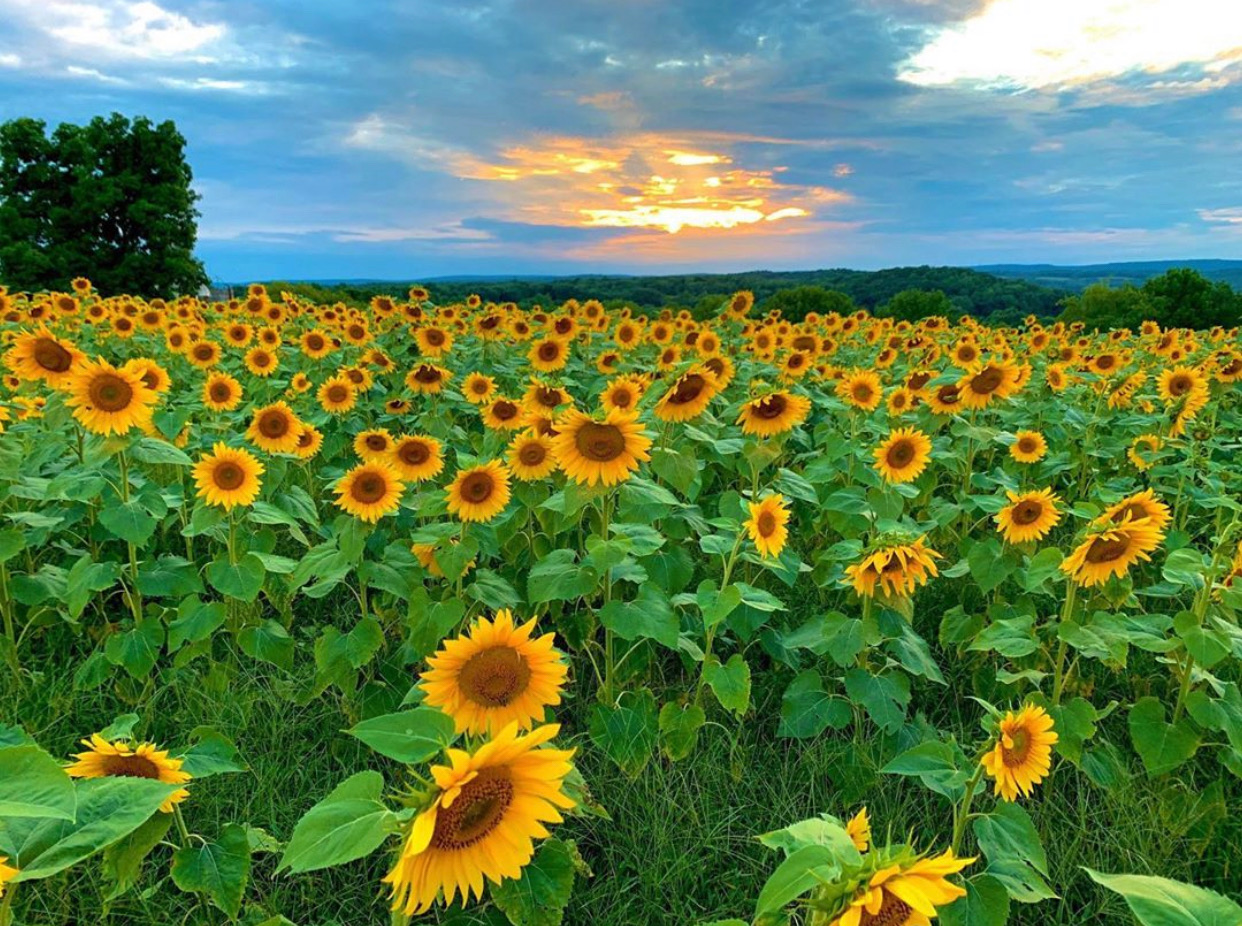 Things to do in NJ Fall in NJ things to do in New Jersey fall activities in NJ sunflower farms threesilosfarmnj