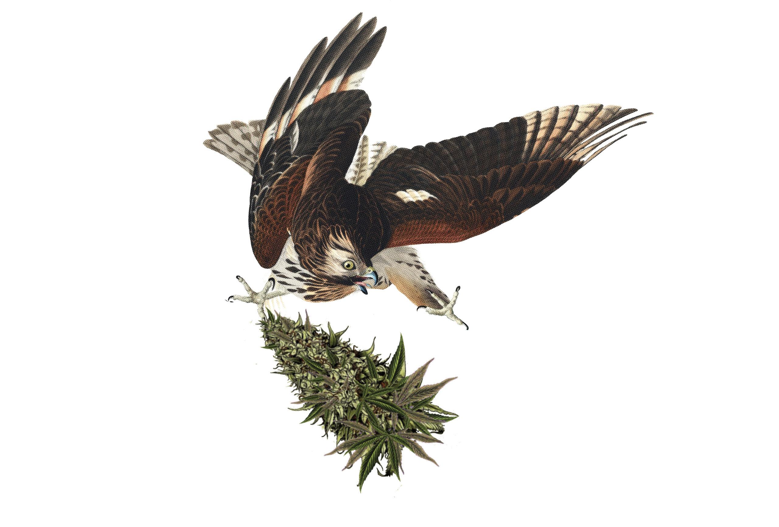 Eagle Catching Large Bud