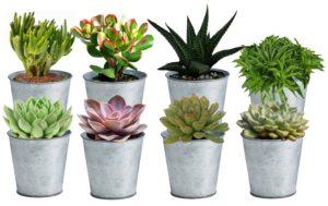 succulents, echeveria, haworthia, jade, mini, tins, cactus