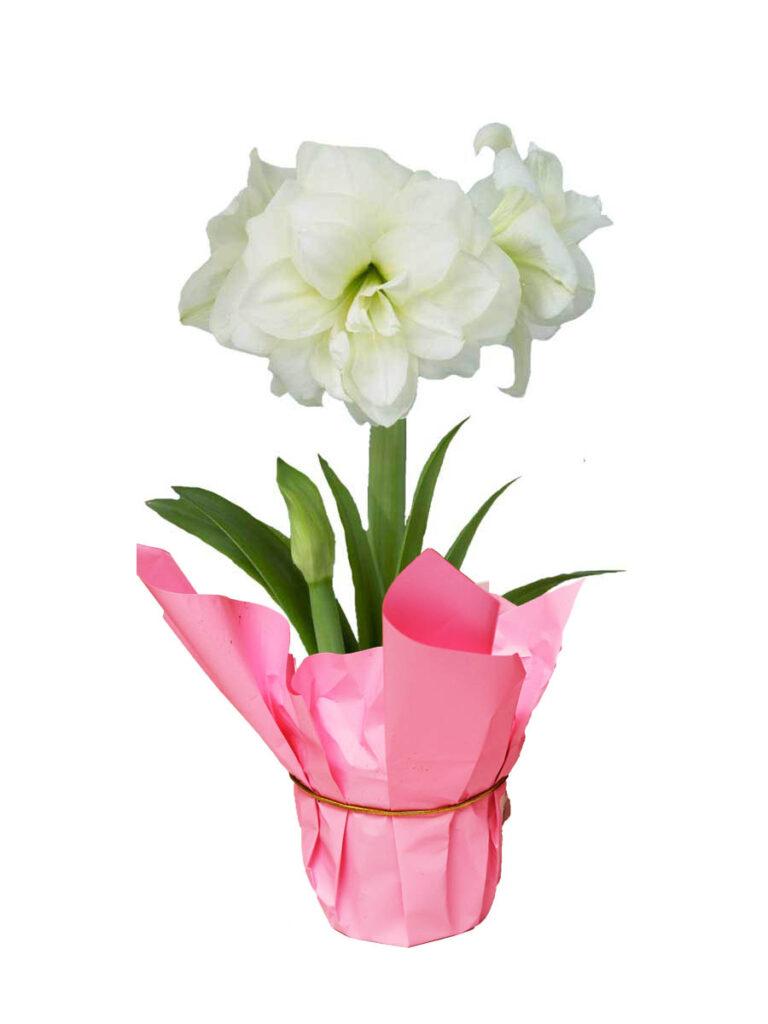 amaryllis christmas valentines day bulb