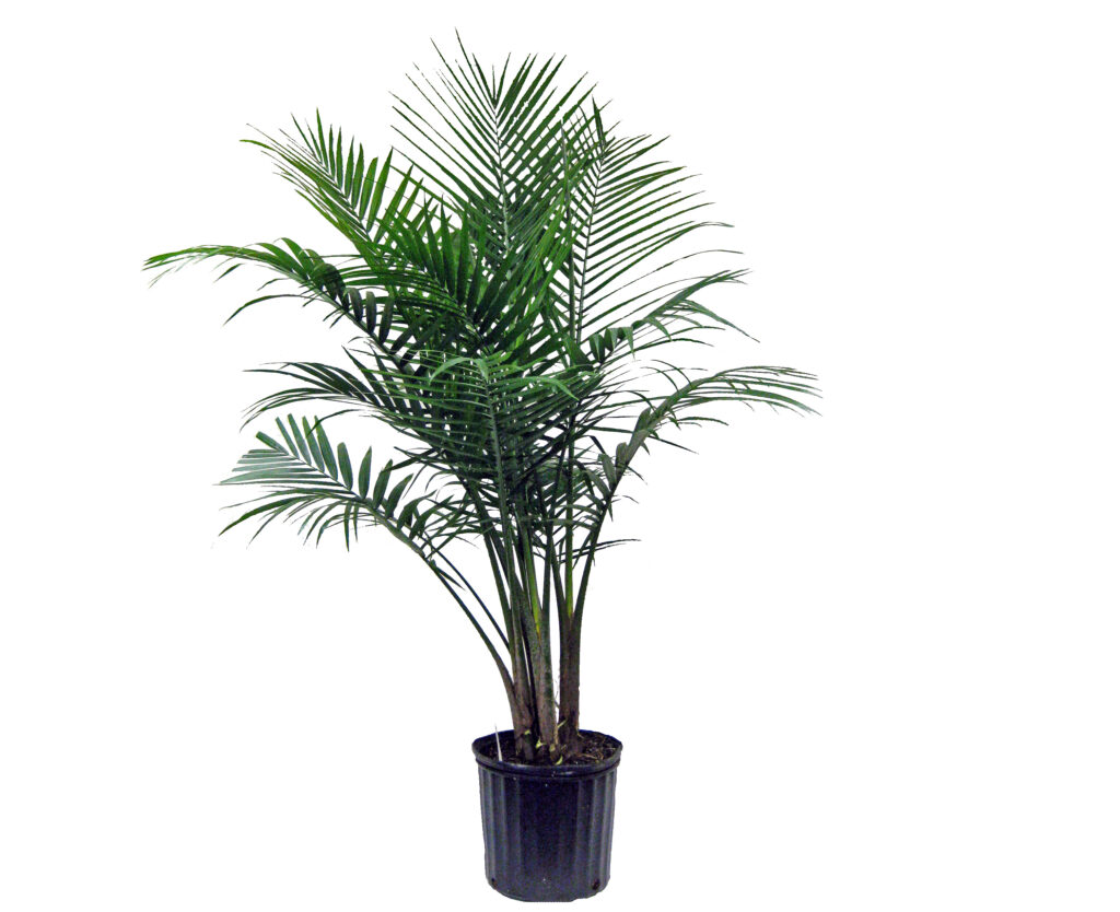 majesty palm tree show plant