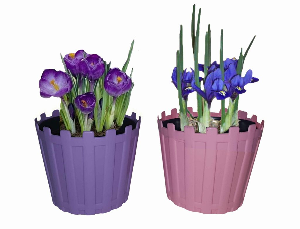 crocus bulb saffron picket pot january