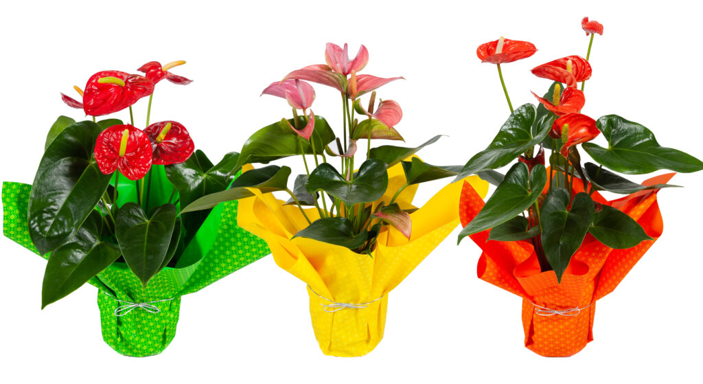 anthurium lace leaf tropical combo pack red pink
