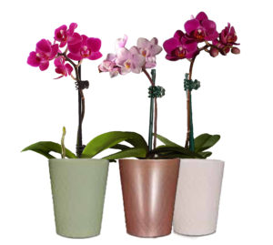 orchid mini