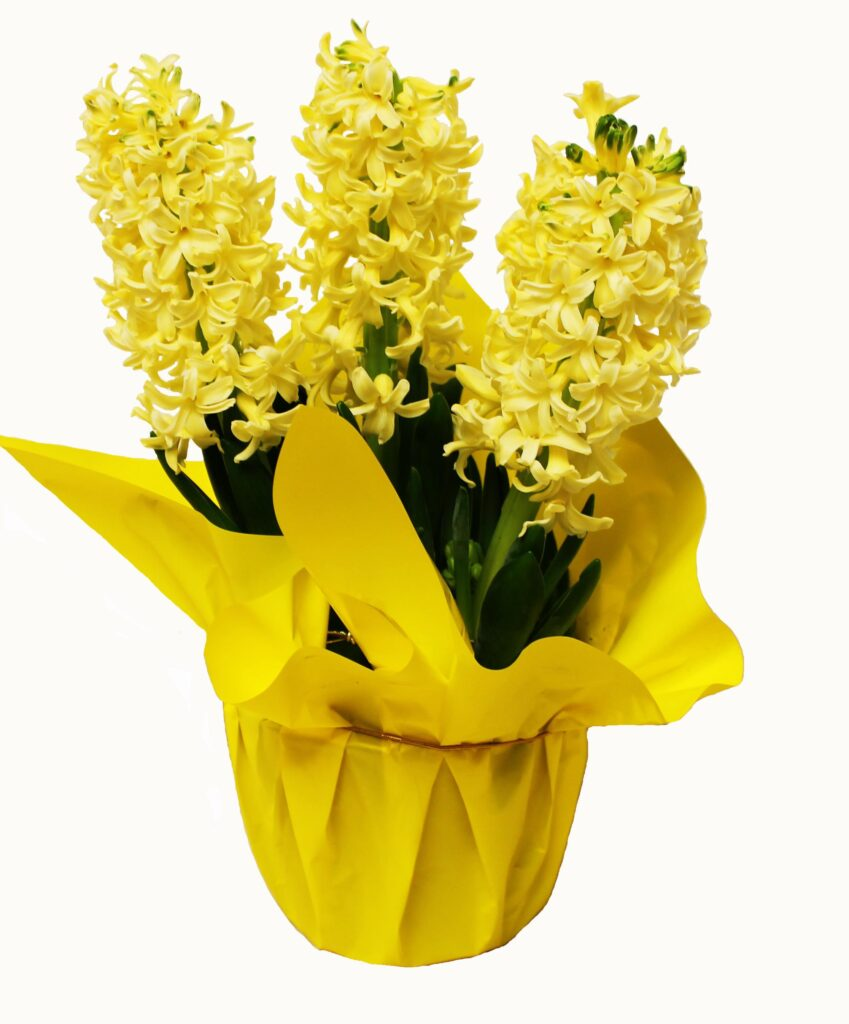 yellow purple pink hyacinth potted in glass assorted bulbs garden