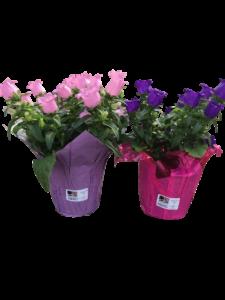 campanula bell flower perennial