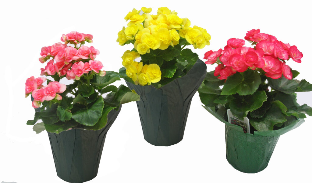 begonia double assorted blooming