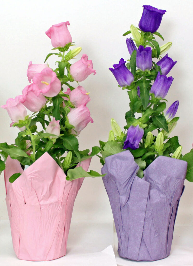 campanula pink purple easter flower perennial