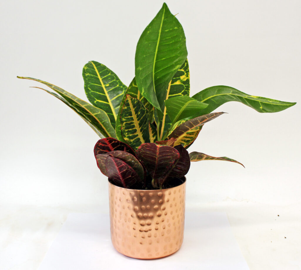 croton tropical colorful copper pot hammered