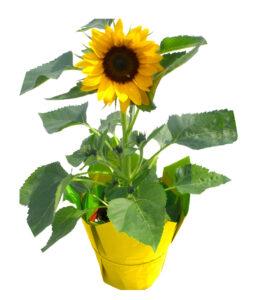 sunflower yellow mylar summer plant sun flower
